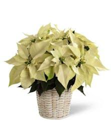 Small White Poinsettia