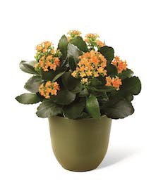 Kolorful Kalanchoe