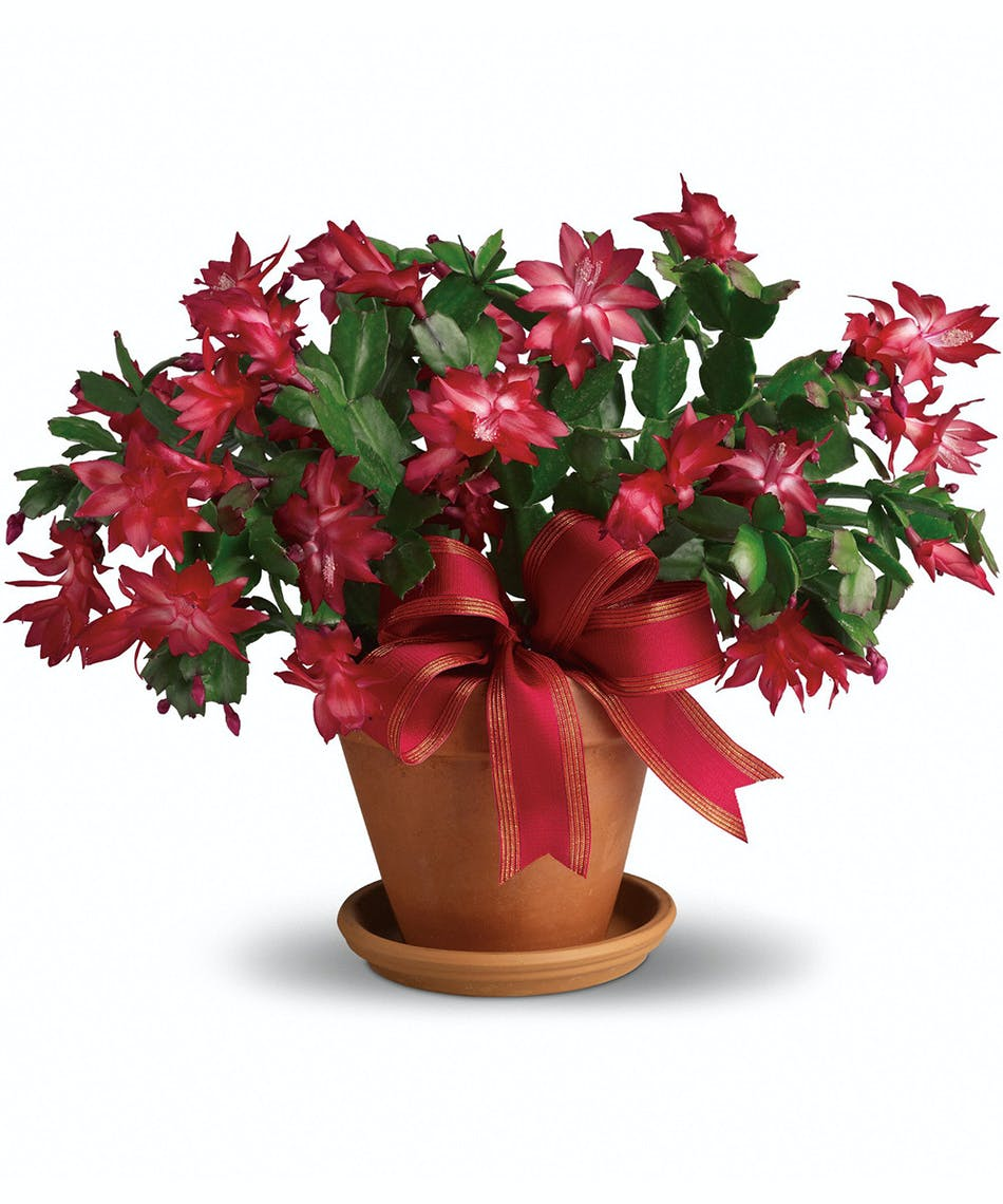 Merry Christmas Cactus Florists Pueblo Co Same Day Delivery