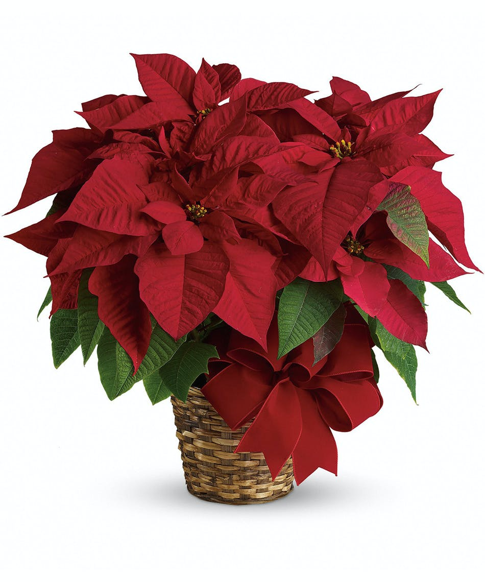 Medium Red Poinsettia Plant Pueblo Co Same Day Delivery